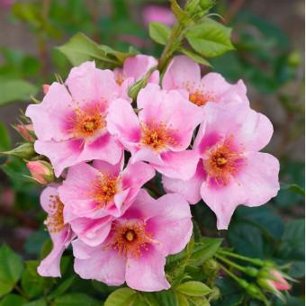 Роза Orienta Laila