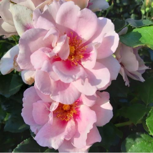 Роза Orienta Magnolia
