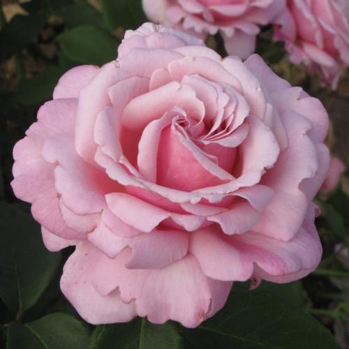 Роза Parfum de Liberte