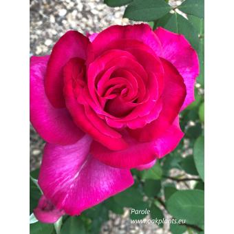 Роза Parole
