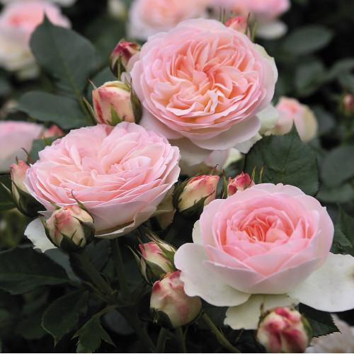Роза Pastella