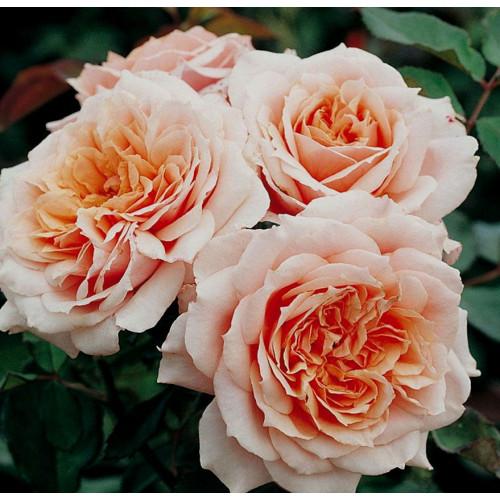 Роза Paul Bocuse