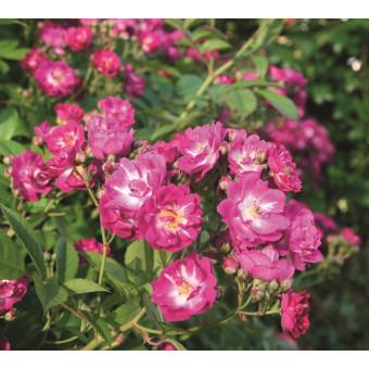 Роза Perennial Blue