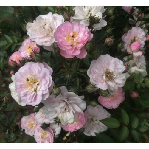 Роза Perennial Blush