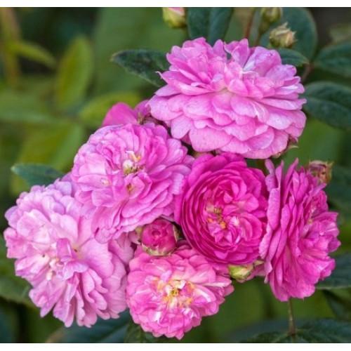 Роза Perennial Rosalie