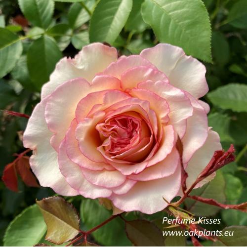 Роза Perfume Kisses