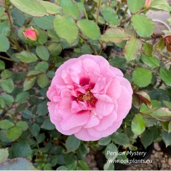 Роза Persian Mystery