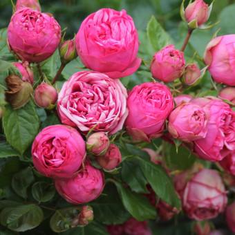 Роза Pink Piano