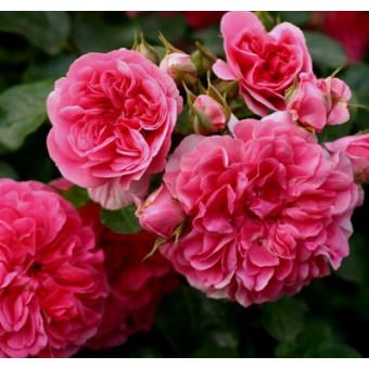 Роза Pink Swany