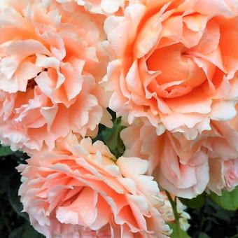 Роза Polka