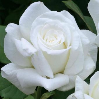 Роза Pope John Paul II