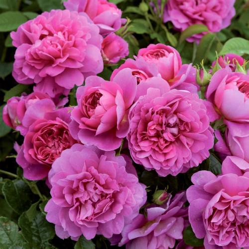 Роза Princess Anne