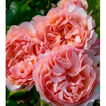Роза Princesse Charlene de Monaco (Duftjuwel)