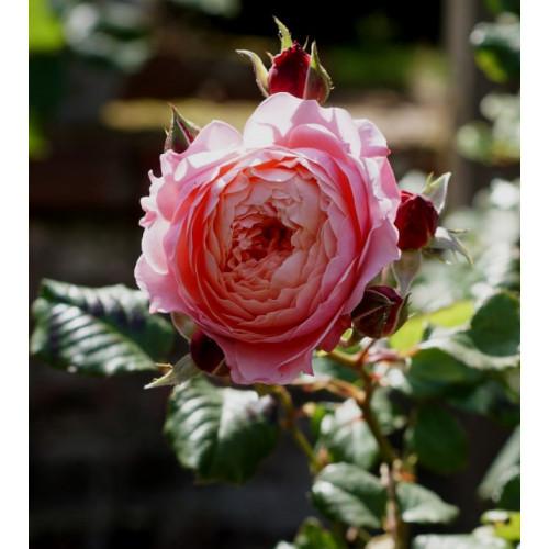 Роза Prix P.J. Redoute