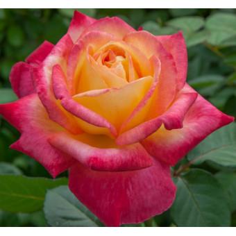 Роза Pullman Orient Express