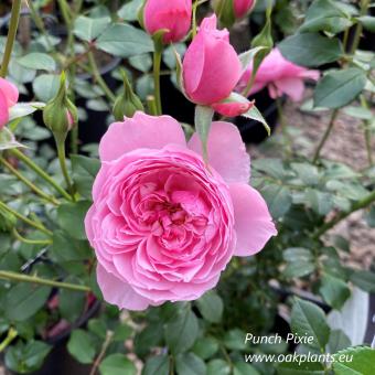 Роза Punch Pixie