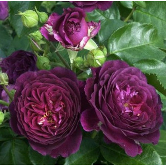 Роза Purple Eden