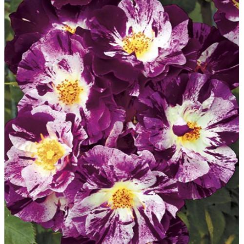 Роза Purple Splash