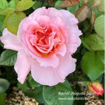 Роза Rachel(Augusta Luise)