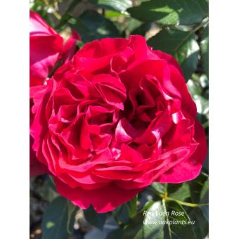 Rose Red Eden Rose