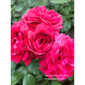 Роза Red Leonardo da Vinci