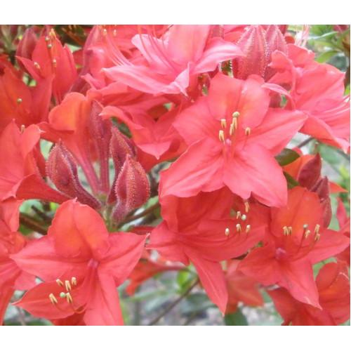 Азалия Crosswater Red