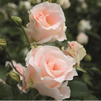 Роза Rokoko