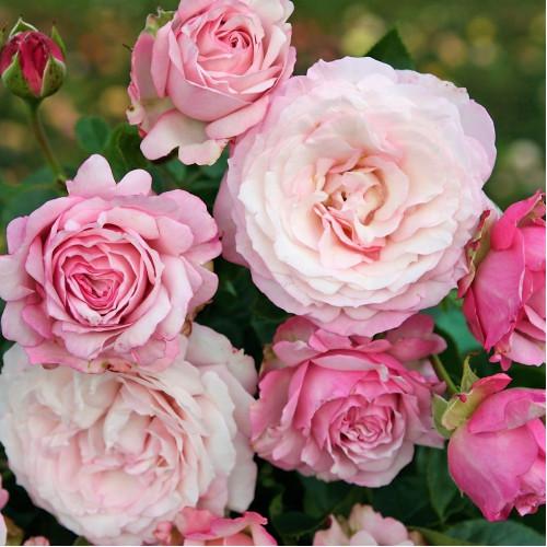 Роза Rosenfaszination