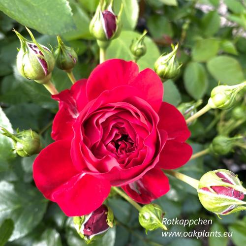 Роза Rotkappchen
