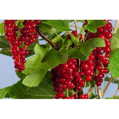 Френско грозде Rovada