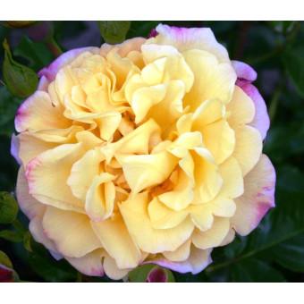 Роза Rugelda