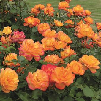 Роза Sahara