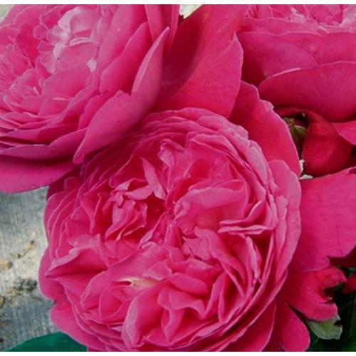 Роза Salma Es-Said