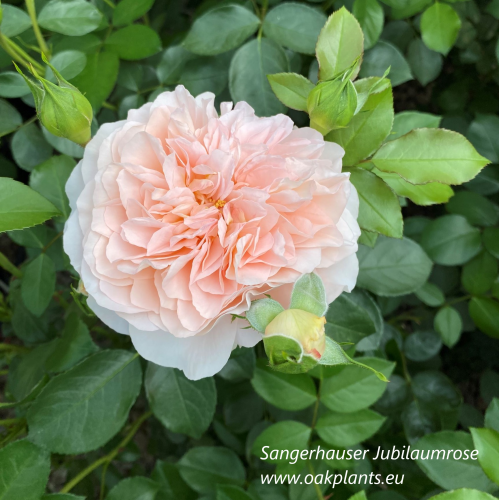Роза Sangerhаuser Jubilаumrose
