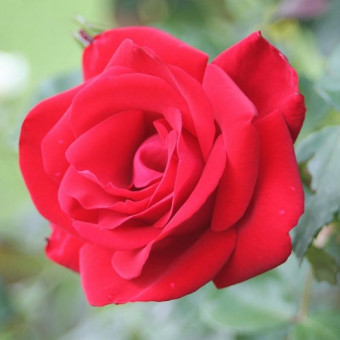 Роза Santana