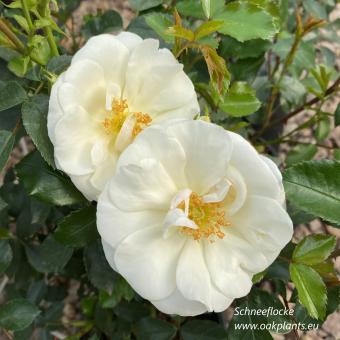 Роза Schneeflocke