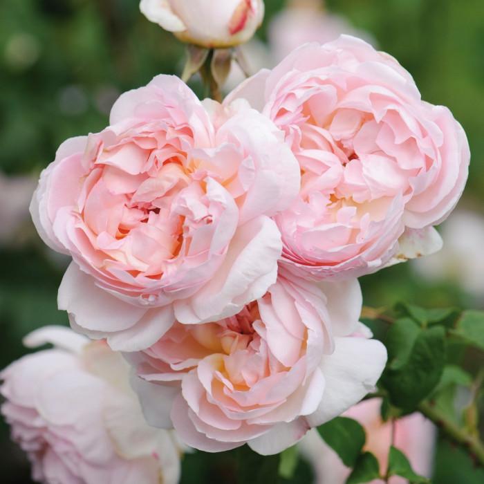 Роза Sharifa Asma