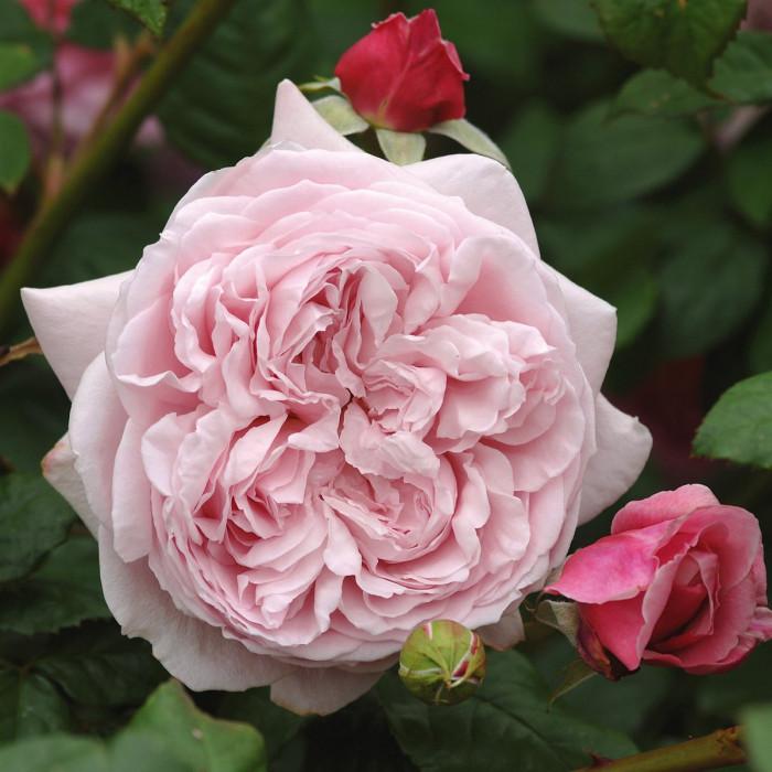 Роза Spirit of Freedom