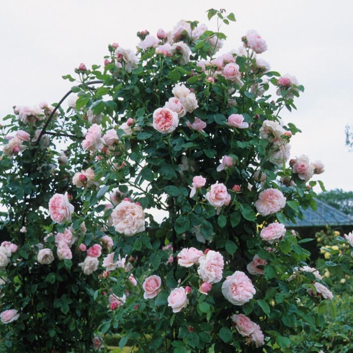 Роза St. Swithun