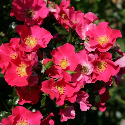 Rose Stadt Rom