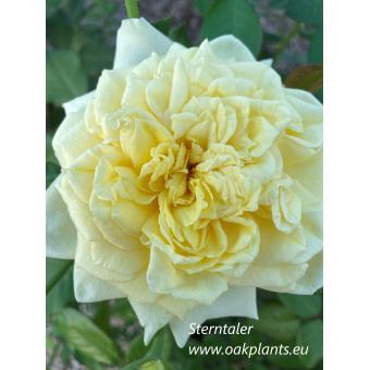 Роза Sterntaler