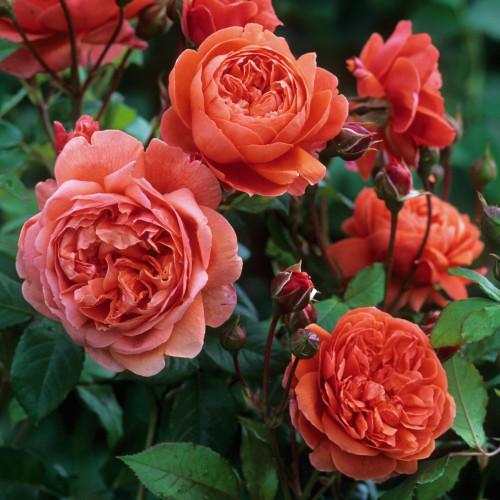 Роза Summer Song