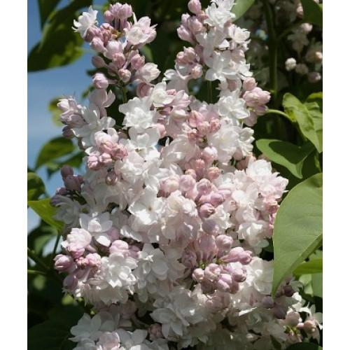 Syringa vulgaris 'Lebioduszka'