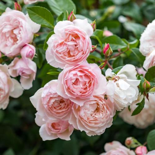 Роза The Generous Gardener