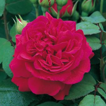 Rose Tess of the d'Urbervilles