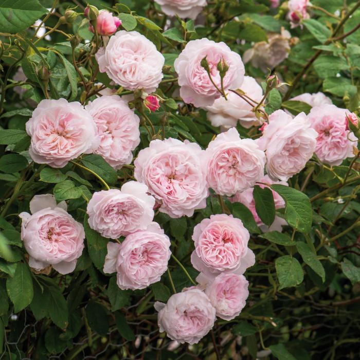 Роза The Albrighton Rambler