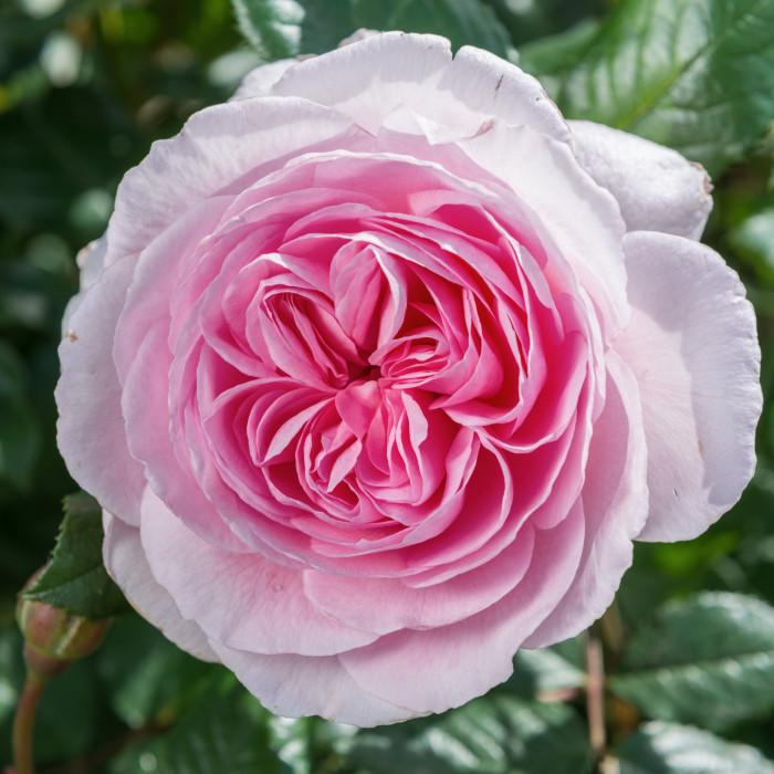 Роза The Ancient Mariner