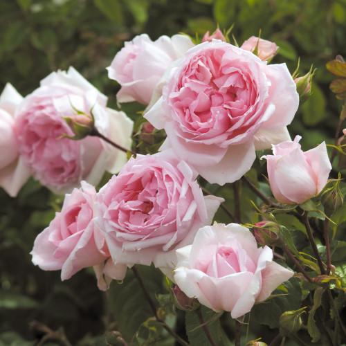 Роза The Wedgwood Rose