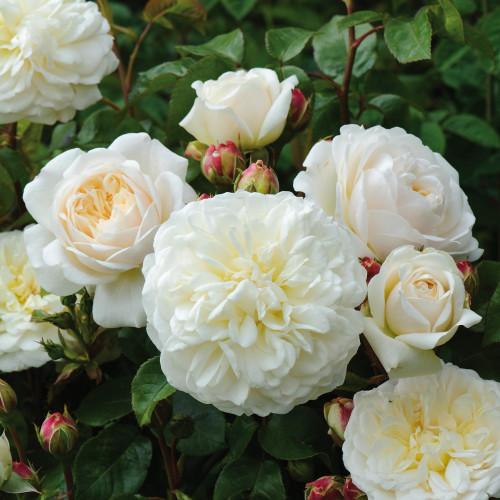 Роза Tranquility