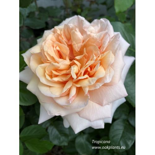 Роза Tropicana